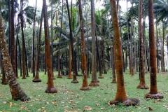 Elefanenfussbäume